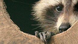 wasbeer in zijn hol angstig kijkend naar buiten